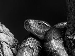 _IMG9345v1 copy-1-Edit (douglasjarvis995) Tags: dfa 150450 chester zoo tree reptile snake pentax k1 nature