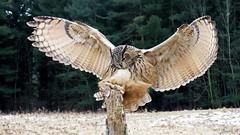 Burnsie Eurasian Eagle Owl CRCIMG_5634_edited-3 (Jennz World) Tags: ©jennifermlivick canadianraptorconservancy vittoria ontario canada eurasianeagleowl owl raptor