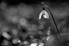 n&b (jpto_55) Tags: fleur noiretblanc perceneige proxi bokeh fuji fujifilm kiron105mmf28macro hautegaronne france