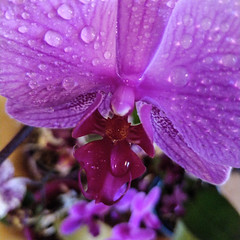 Water on my orchid (Christine Schmitt) Tags: waterdrop orchid water drop pink flower blossom