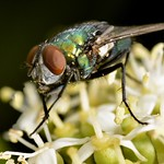 The humble blowfly is a pollinator too. thumbnail
