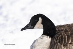 Bernache du Canada, Canada Goose (Claudette Archambault) Tags: canadagoose bernacheducanada