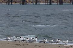 Royal Terns, Malibu Lagoon, CA CQ4A4005 (Hart Walter) Tags: malibulagoon legacypark royaltern brownpelican grayplover marbledgodwin