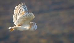 Barn owl-2 (ianrobertcole1971) Tags: barn owl tito alba flight flying nikon d7200