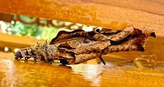 larve de papillon (butterfly larva) (hcortade) Tags: larve larva papillon butterfly insecte insecta animal psychidae orange coth5 thailande travel voyage samui ile island monde world