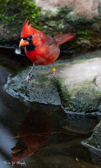 RedCardinal (Borreltje.com) Tags: burgerszoo burgers zoo animal animals zoophotography nikond500 nikond5300 bird birds cardinal redcardinal vogel vogels