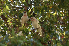 long-billed corella (22Lavender22) Tags: elements nature d3400 nikon wildlife australia
