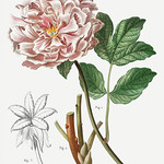Tree peony (Paeonia moutan) illustration from Traité des Arbres thumbnail
