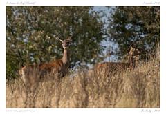 Le brame (BerColly) Tags: france auvergne cantal biche brame automne autumn bercolly google flickr