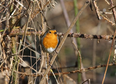 DSC08807 (simonbalk523) Tags: robin birds wild wildlife nature reserve british warnham horsham sussex sony tamron photography woodland living