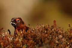 Curious Grouse (Derbyshire Harrier) Tags: lagopuslagopus redgrouse moorland crowberry heather peakdistrict peakpark derbyshire winter march 2019