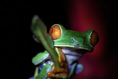 Rotaugenlaubfrosch (RiversideMovie&Pictures Wildlife) Tags: bocatabada costarica laguandellagarto wildlife wildlifefotograf wildlifephotograph frosch agalychnis callidryas amphibien baumfrosch greiffrosch laubfrosch