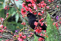 Blackbird ... Turdus merula (AndyorDij) Tags: blackbird turdusmerula quince andrewdejardin bird england empingham rutland uk unitedkingdom