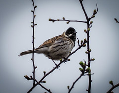Reed Bunting - Emberiza schoeniclus (andrewkirby255) Tags: bunting reedbunting lodmoor dorset