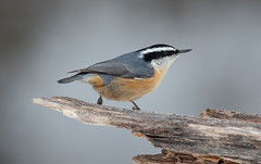 Red-breasted Nuthatch (Laura Erickson) Tags: paridae saxzimbog stlouiscounty borealchickadee birds passeriformes species places minnesota poecilehudsonicus