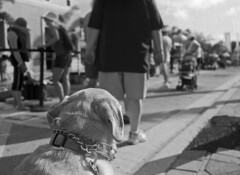 Dog's View (PositiveAboutNegatives) Tags: leica leitz slr leicaflex leicaflexsl 35mm 35mmelmarit leicar 11231 film analog bw blackandwhitefilm foma fomapan fomapan100 rodinal coolscan lakeworth florida streetpaintingfestival dog lab labrador yellowlab