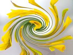 Sliding daffodils (Pat's_photos) Tags: flower daffodil hss