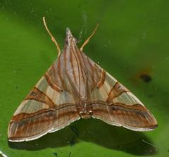 Squinty chook moth Glyphodes nyctealis Pyraustinae Crambidae Airlie Beach rainforest P1010987 (Steve & Alison1) Tags: squinty chook moth glyphodes nyctealis pyraustinae crambidae airlie beach rainforest