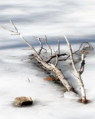 on ice (Photo Op!) Tags: ice pond branches frozen artistic gray