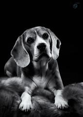 Suri (Sergio Nevado) Tags: perro dog beagle mascota pet animal estudio studio blanco negro black white blancoynegro blackandwhite