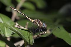 La libélula de ojos turquesas (Ce Rey) Tags: odonata dragonfly macro libélula insecto insect planta plant blue azul canoneos80d summer verano vidasilvestre wildlife green verde insecta nature naturaleza