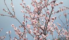 spring blossoms (Johnson Cameraface) Tags: 2019 march olympus omde1 em1 micro43 meyeroptikgorlitzoreston 50mm m42 f18 manualfocus johnsoncameraface blossom sheffieldbotanicalgardens winter
