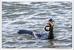 2019-03-13-40510--©-Gerard-MUSSOT (Gerard MUSSOT) Tags: deltedelebre oiseaux faune españa ebro reservenaturele