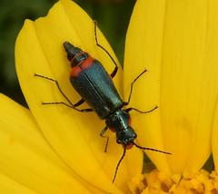 Beetle - Malachiidae (John Steedman) Tags: cyprus kibris zypern κύπροσ northcyprus northerncyprus turkishrepublicofnortherncyprus kuzeykıbrıstürkcumhuriyet barnabas stbarnabas monastery insect beetle malachiidae