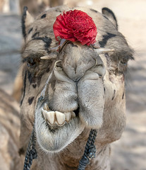 CAMELS31 (Glenn Losack, M.D.) Tags: camels animals dromedary teeth dentition smiles streetphotographer streetphotography photojournalism