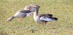 J78A0273 (M0JRA) Tags: swans robins birds humber ponds lakes people trees fields walks farms traylers ducks