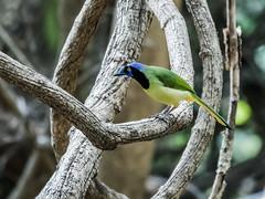 Green Jay (nickathanas) Tags: corvidae greenjay incajay