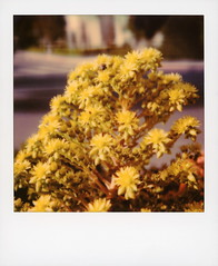 Hollywood Spring - Aeonium Flowers 2 (tobysx70) Tags: polaroid originals color 600 instant film slr680 hollywood spring aeonium flowers village green beachwood canyon drive hills los angeles la california ca yellow flower blossom succulent plant honey bee butt ass bokeh toby hancock photography