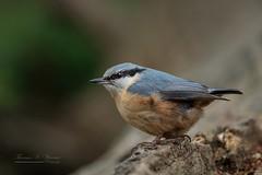 Kleiber - Nuthatch (THW-Berlin) Tags: birds animals vögel tiere aves nuthatch kleiber nature wildlife sony alpha6500