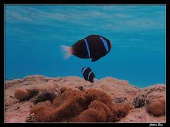 Poé Beach - Nouvelle Calédonie (CurLy98800) Tags: poé new caledonia nouvelle caledonie poisson underwater diving snorkeling fish corail pacific plongée nouméa anémone clown amphiprion akindynos
