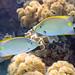 Siganus lineatus Goldlined Rabbitfish