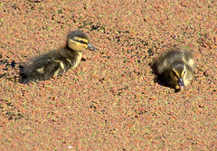 Cute ducklings on the Preston canal (Tony Worrall) Tags: canal wet water swim bird birds wild wildlife ducks duckling cute natyre natural preston lancs lancashire city welovethenorth nw northwest north update place location uk england visit area attraction open stream tour country item greatbritain britain english british gb capture buy stock sell sale outside outdoors caught photo shoot shot picture captured ilobsterit instragram photosofpreston ashtononribble ashton