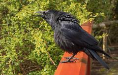 Crow (Dibbly Dobbler) Tags: edinburghbotanicgardens sonyrx10iii crow