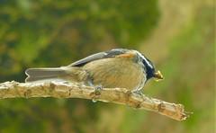 Coal Tit (cami.carvalho) Tags: chapimcarvoeiro coaltit ave bird passarinho nature natureza