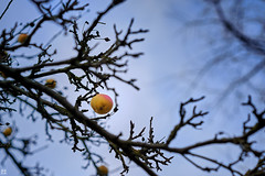unexpected fruits at the end of the year (Aspenlaub (blattboldt)) Tags: apple apfel appletree apfelbaum december endoftheyear yellow gold nature boke shallowdof blue sky branches tree emount colorcontrast colorful loxia2485 loxia2485sonnar 85mm 51695547 sonnar zeiss sony ilce7rm3 alpha7riii manualfocus manualiris manualexposure specialthankstochristophecasenaveandhisteamfromzeissfortheirpersonalinvolvementinthedevelopmentoftheloxialensline ⚶ europe thuringiagermany crop maluspumila leftover remains