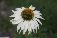 Flower 🌼 (Dimitri Gugliotta) Tags: flower flowers fiore fiori natura nature pianta plant piante plants