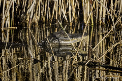 20190106-Anahuac NWR-348-Edit (Scott Sanford Photography) Tags: 80d canon ef14xiii ef100400mmf4556lii eos morning naturalbeauty naturallight nature outdoor sunlight texas topazlabs wildlife alligator animals beautiful reptile