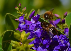 Feelin' Blue  The Drone Fly (Eristalis tenax) (ASHA THE BORDER COLLiE) Tags: macro flower fauna bush connie kells county down photography