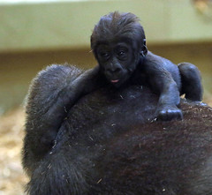 western lowlandgorilla Damsi artis 094A0603 (j.a.kok) Tags: animal artis africa afrika aap ape gorilla mammal monkey mensaap primate primaat westelijkelaaglandgorilla westernlowlandgorilla laaglandgorilla lowlandgorilla dafina damsi