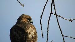 Red-tailed Hawk_8400.mp4 (Henryr10) Tags: ottoarmlederpark hamiltoncountyparkdistrict cincinnati ottoarmledermemorialpark armlederpark littlemiamiriver greatparksofhamiltoncounty usa beanfield overlookwoods