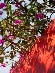 泰安|Leica DG 200mm f/2.8 (里卡豆) Tags: 后里區 臺中市 中華民國 tw 臺灣 olympus penf panasonicleicadg200mmf28 panasonic leica dg 200mm f28 olympuspenf