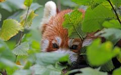 peek-a-boo (AvesAg) Tags: tierpark tierparkberlin zoo berlin canon eos 6d kleinerpanda roterpanda ailurusfulgens redpanda lesserpanda carnivore endangered katzenbär