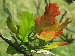 Young Oak Leaves! ('cosmicgirl1960' NEW CANON CAMERA) Tags: devon dartmoor nature yabbadabbadoo