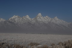 Bison Herd Feeding On A Cold, Frosty Morning With Low Lying Fog And The Teton Range In The Background (fethers1) Tags: jacksonholewyoming wyoming wyomingwildlife snow moose bullmoose tetonmountainrange