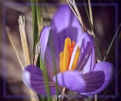 Prémices (Charlottess) Tags: var nikon5300 février fleur crocus saintebaume paca