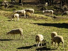 Sérac d'Ustou (Ariège) (PierreG_09) Tags: ariège pyrénées pirineos couserans montagne occitanie midipyrénées hiver brebis mouton troupeau
